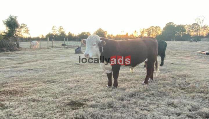 Simangus Bull For Sale