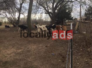 Heifer Calves For Sale