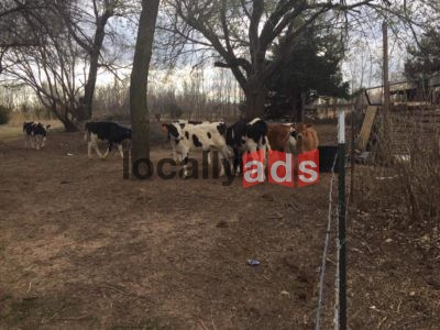 Heifer Calves For Sale