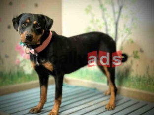 Rottweiler Dog For Sale